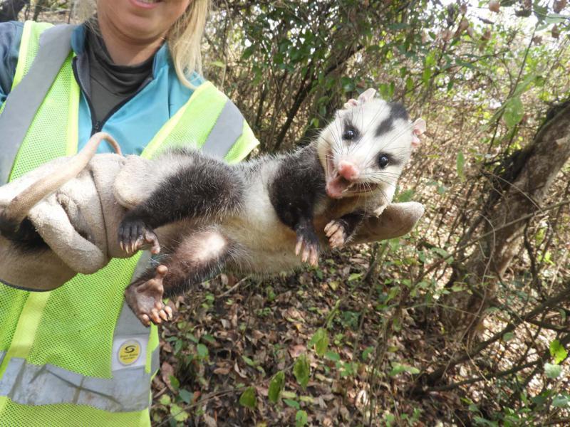 Afugentamento de fauna